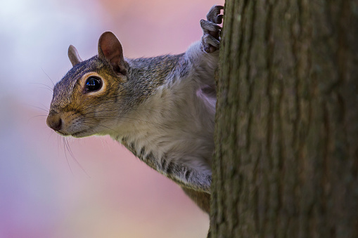 Gray Squirrel「Grey Squirrel」:スマホ壁紙(5)