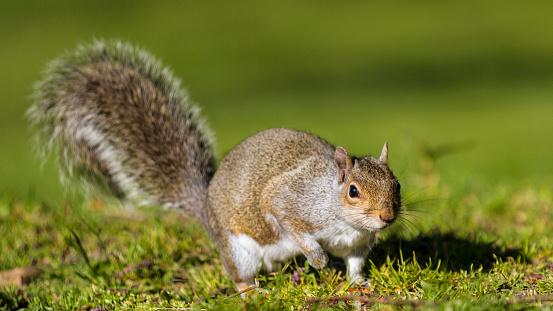 Gray Squirrel「Grey Squirrel」:スマホ壁紙(2)
