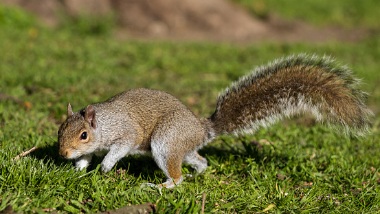 Gray Squirrel「Grey Squirrel」:スマホ壁紙(18)