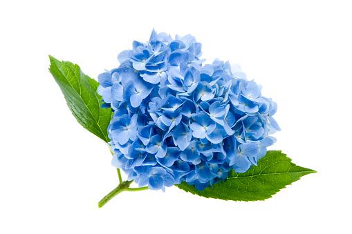あじさい「Hydrangea flower」:スマホ壁紙(18)