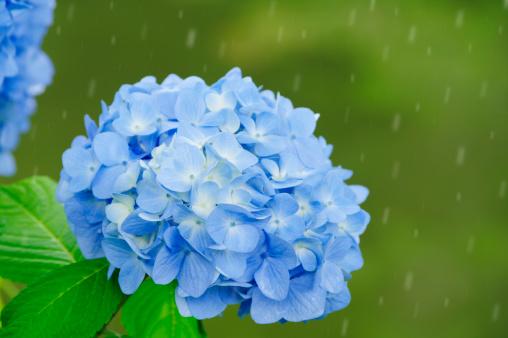 あじさい「Hydrangea Flowers in Rain」:スマホ壁紙(14)