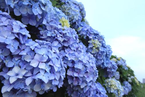 あじさい「Hydrangea Flowers」:スマホ壁紙(16)