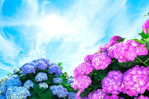 あじさい「Hydrangea Flowers」:スマホ壁紙(6)