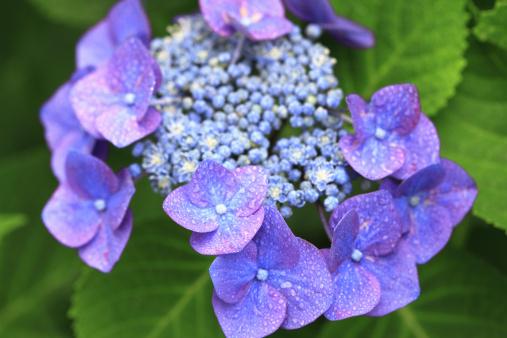 あじさい「Hydrangea Flowers」:スマホ壁紙(19)