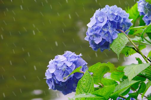 あじさい「Hydrangea Flowers」:スマホ壁紙(9)