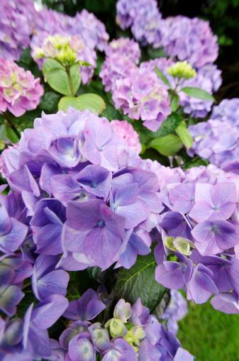 あじさい「アジザイの花」:スマホ壁紙(6)