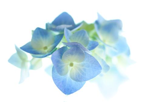 あじさい「Hydrangea Flowers」:スマホ壁紙(4)