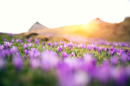 花畑「クロッカスの花」:スマホ壁紙(6)