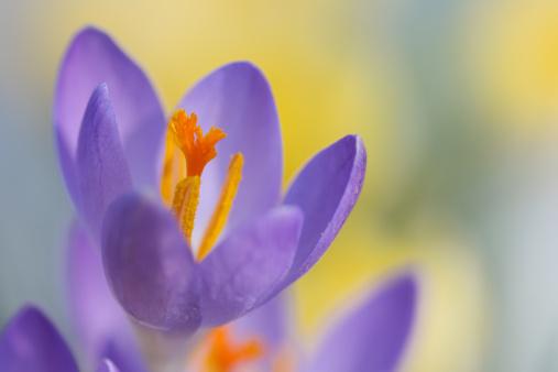 flower「Crocus flower in springtime」:スマホ壁紙(2)