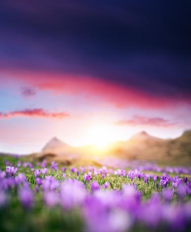 Crocus「Crocus Flowers At Sunset」:スマホ壁紙(8)