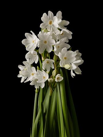 水仙「Daffodil flowers on a black background」:スマホ壁紙(12)