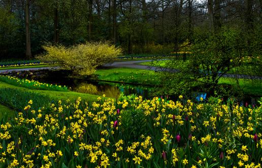 キューケンホフ公園「Daffodil Flowers announce spring」:スマホ壁紙(14)