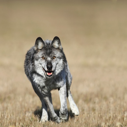 Wolf「Wolf (canis lupus) running towards camera」:スマホ壁紙(13)