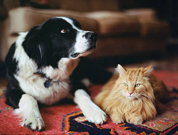 Sheepdog and long haired tabby on rug:スマホ壁紙(壁紙.com)