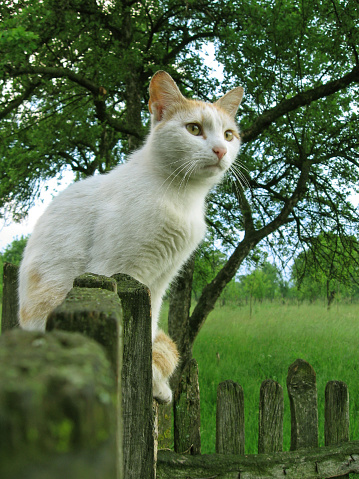 Mixed-Breed Cat「Cat」:スマホ壁紙(1)