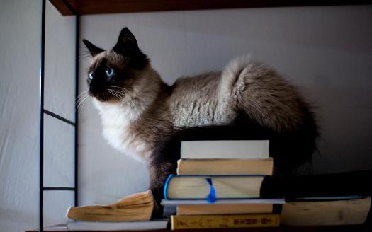 バーマン猫「cat」:スマホ壁紙(14)