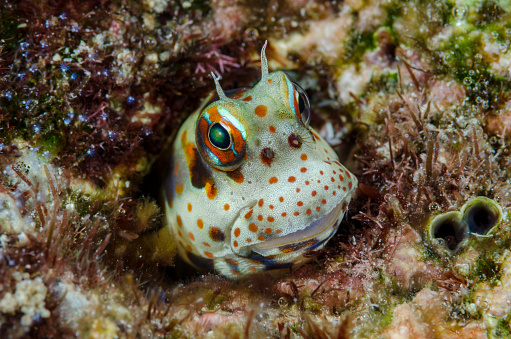 ソロモン諸島「Redspotted blenny fish (Blenniella Periophthalmus) amid corals, Solomon Islands」:スマホ壁紙(15)