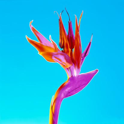 Gel Effect Lighting「Strelitzia Regina flower - Bird of Paradise」:スマホ壁紙(16)