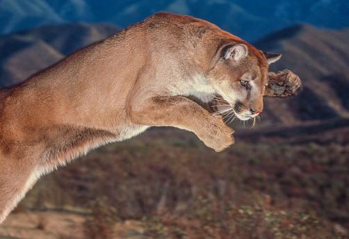 Pouncing「Cougar pounce」:スマホ壁紙(5)