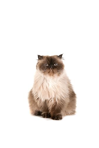 Tibetan Culture「beautiful cat」:スマホ壁紙(13)