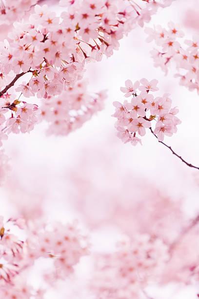 Beautiful Cherry Blossom:スマホ壁紙(壁紙.com)