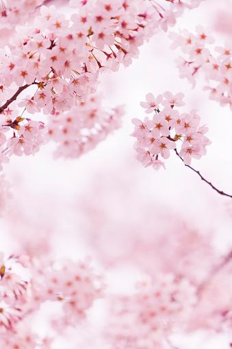 Vertical「Beautiful Cherry Blossom」:スマホ壁紙(2)