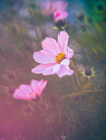 コスモス「太陽の下で美しいコスモスの花。花の浸漬」:スマホ壁紙(9)