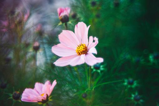コスモス「太陽の下で美しいコスモスの花。花の浸漬」:スマホ壁紙(10)