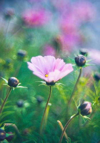 コスモス「太陽の下で美しいコスモスの花。花の浸漬」:スマホ壁紙(15)