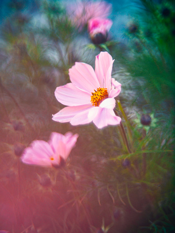 Cosmos Flower「Beautiful cosmos flower in sunlight」:スマホ壁紙(7)