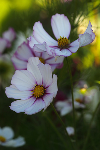 Cosmos Flower「Beautiful cosmos flowers in country garden.」:スマホ壁紙(4)