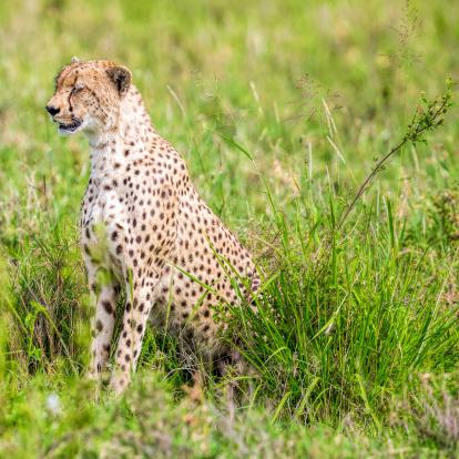 African Cheetah「V - Beautiful Cheetah with very nice bush」:スマホ壁紙(8)