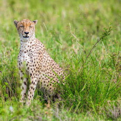 African Cheetah「V - Beautiful Cheetah with very nice bush」:スマホ壁紙(18)