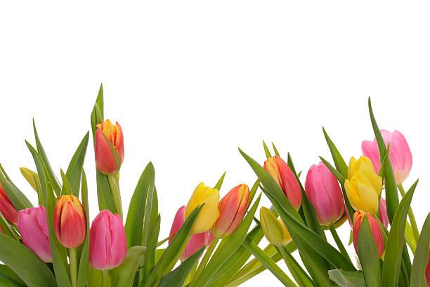 Beautiful Colorful Spring Tulip Border on white background:スマホ壁紙(壁紙.com)