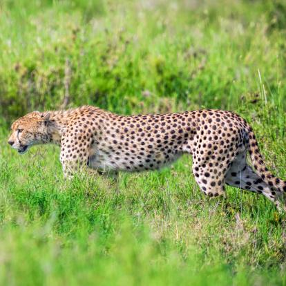 African Cheetah「Beautiful Cheetah in green like arrow」:スマホ壁紙(16)
