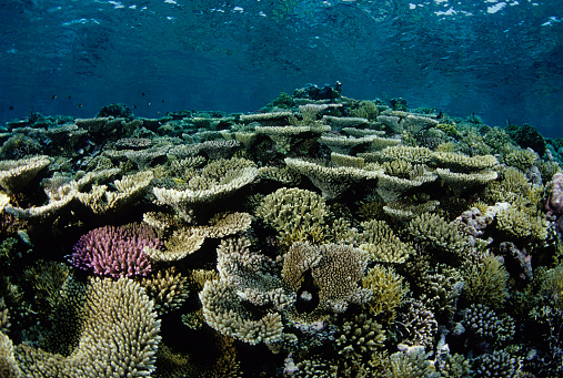 Ecosystem「Beautiful Coloured Hard Coral Reef」:スマホ壁紙(2)