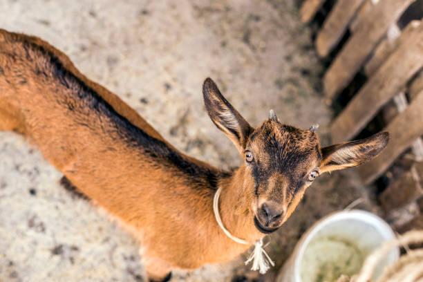 Beautiful, cute, young brown goat looking at you:スマホ壁紙(壁紙.com)