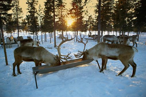 Pack Animal「Reindeer Herd Eating」:スマホ壁紙(2)