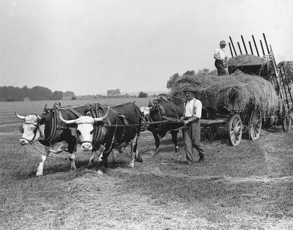 Wild Cattle「Oxen At Work」:写真・画像(12)[壁紙.com]