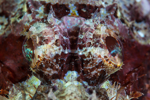 Eyesight「A scorpionfish lays on a reef in Indonesia. Scorpionfish are visual, ambush predators.」:スマホ壁紙(4)