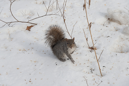 Gray Squirrel「a squirrel in central park under the snow」:スマホ壁紙(19)