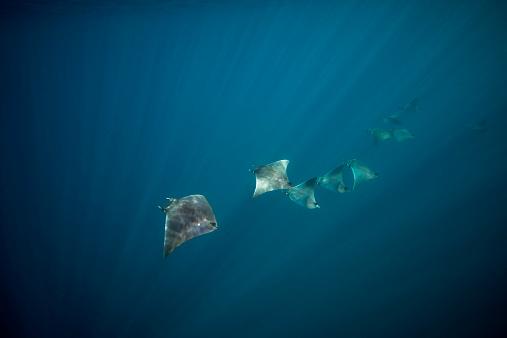 Manta「Mexico, Yucatan, Isla Mujeres, Caribbean Sea, Atlantic Mobulas, Mobula hypostoma」:スマホ壁紙(19)
