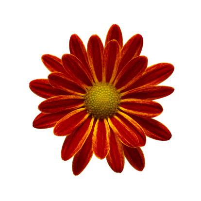 Variegated Foliage「Red Daisy Close-up」:スマホ壁紙(13)
