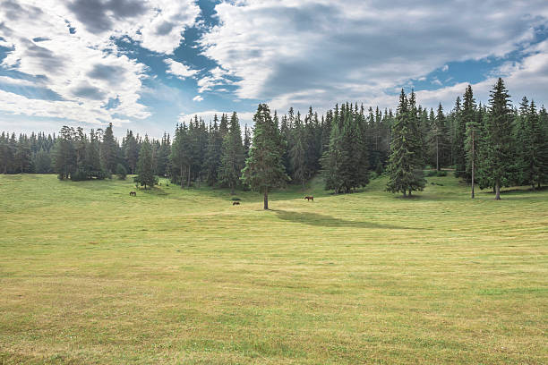 Bulgaria, Rhodope Mountains, three horses grazing on a meadow in front of fir forest:スマホ壁紙(壁紙.com)