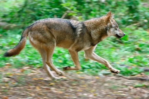 Gray Wolf「Running Wolf」:スマホ壁紙(13)