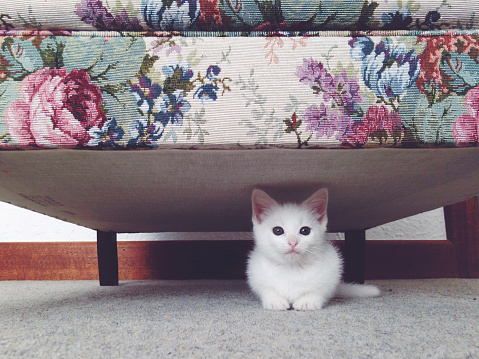 Kitten「Small white kitten hiding beneath a floral couch」:スマホ壁紙(1)