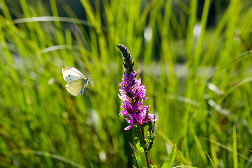 Foraging「Small White flying to Purple Loosestrife」:スマホ壁紙(12)