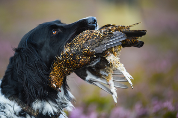 animal「The Glorious 12th Marks The Official Start Of Grouse Shooting Season」:写真・画像(19)[壁紙.com]