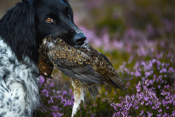 animal「The Glorious 12th Marks The Official Start Of Grouse Shooting Season」:写真・画像(17)[壁紙.com]