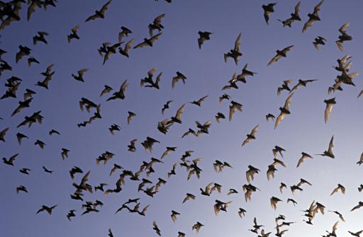 コウモリ「Millions of Mexican Free-tailed Bats stream out of breeding cave in Texas, USA」:スマホ壁紙(13)